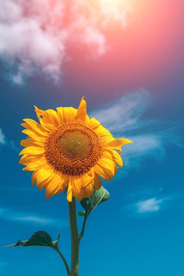 De bloemclose-up van de zonnebloemzomer bij zonsondergang stock foto