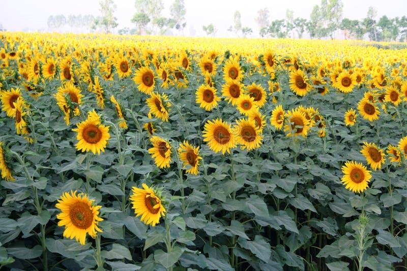 De bloemcultuur van de zon, Noord-India stock fotografie