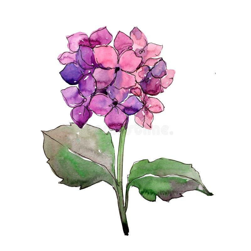De bloemen botanische bloem van de Purlehydrangea hortensia Waterverf achtergrondillustratiereeks Het geïsoleerde element van de  stock illustratie