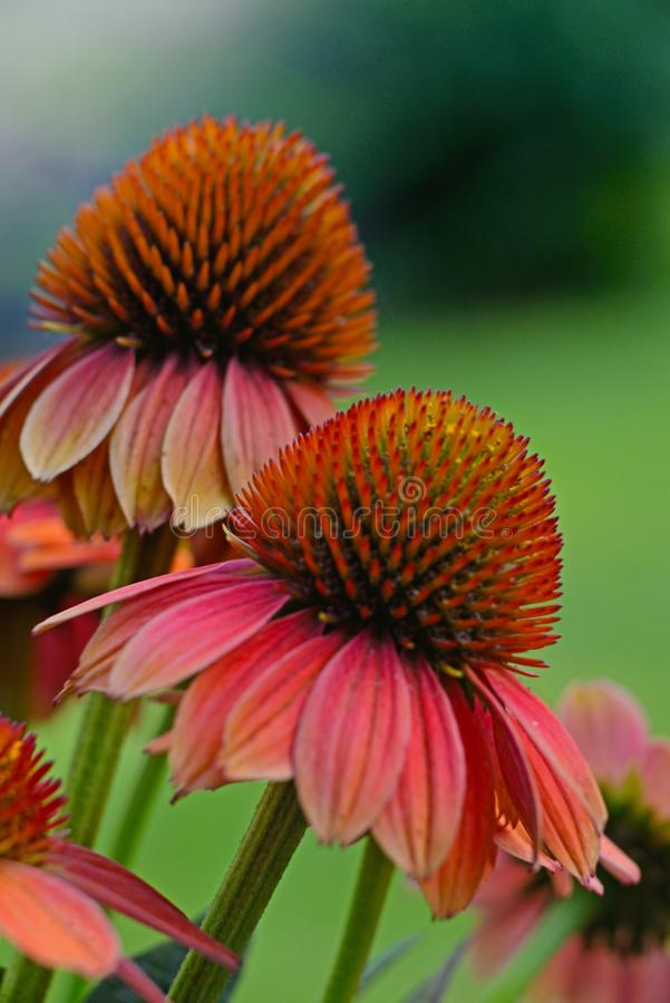 De Bloemen die van de close-upkegel met een groene achtergrond bloeien stock afbeeldingen