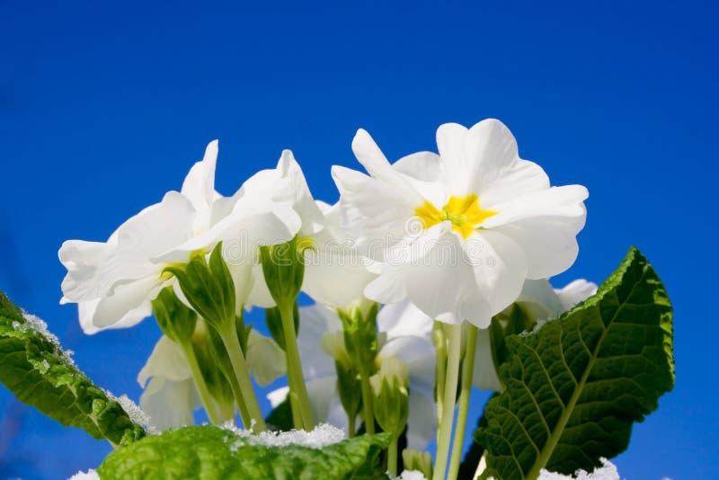 De bloemen die van de lente omhoog komen royalty-vrije stock afbeelding