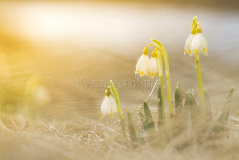De bloemen die van het de lentesneeuwklokje in zonnige dag bloeien stock afbeeldingen