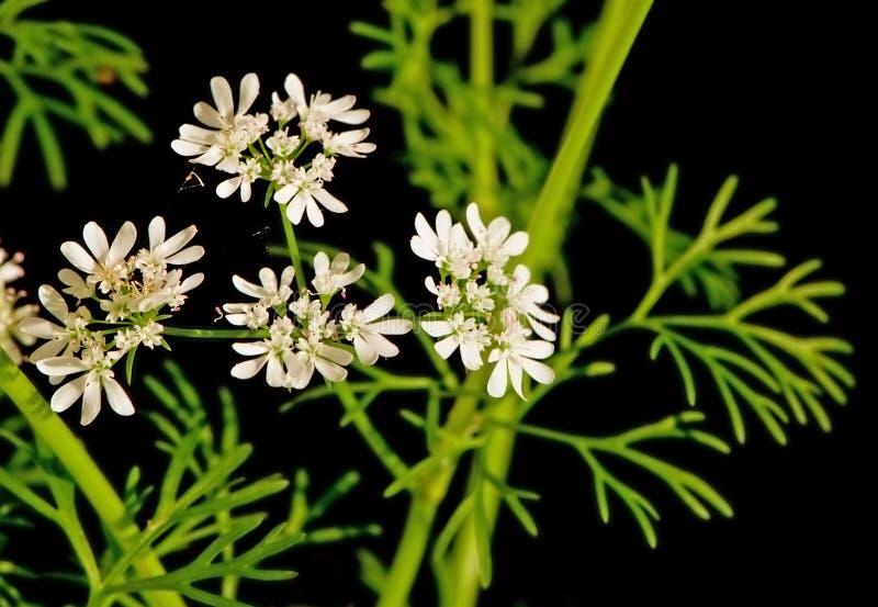 De bloemen en de bladeren van de koriander royalty-vrije stock afbeeldingen