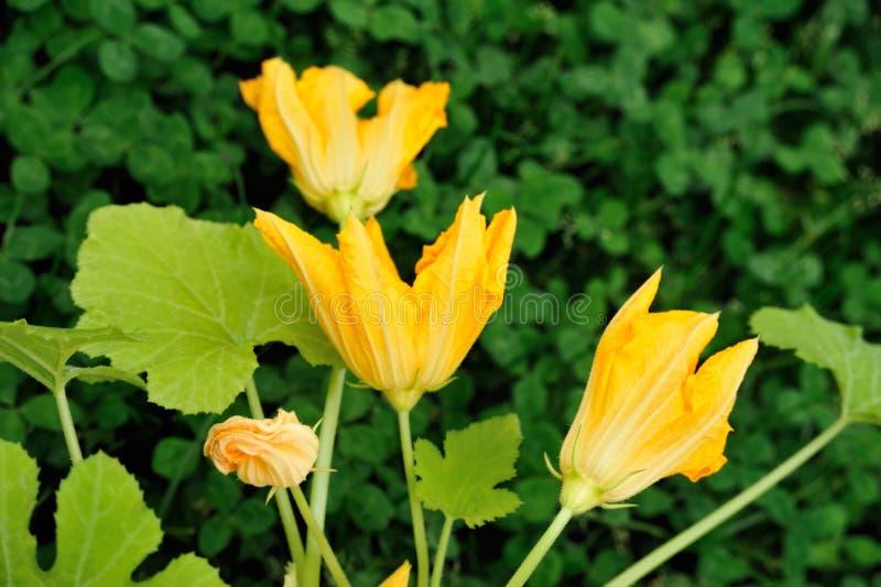 De bloemen en de bladeren van de pompoen stock afbeelding