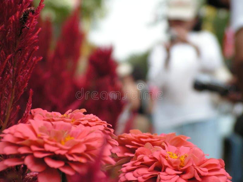 De bloemen en de toerist van Zinnia stock foto's