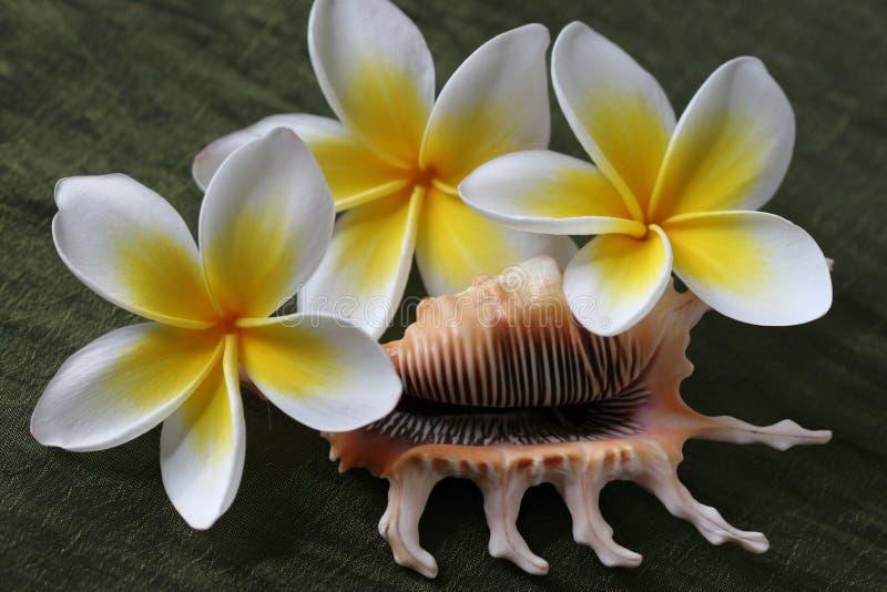 De Bloemen en Shell van Plumeria royalty-vrije stock afbeelding