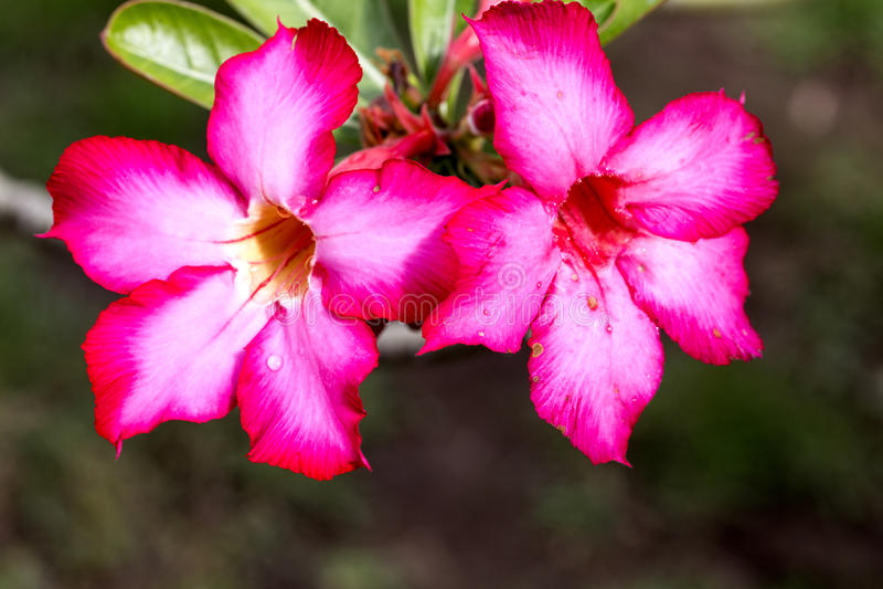 De bloemen van Adeniumarabicum met water daalt, Nusa Penida - Bali, binnen stock afbeeldingen