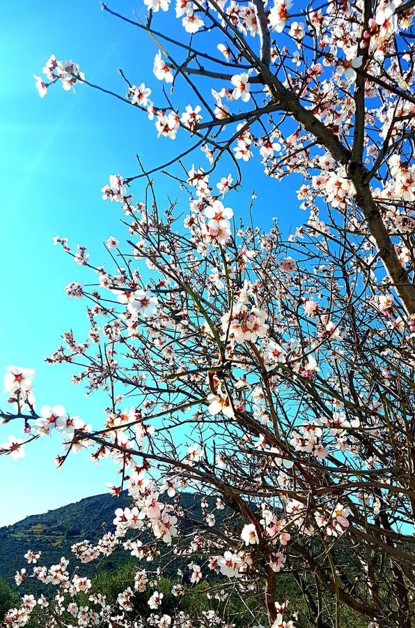 De bloemen van de amandelboom bij de lente royalty-vrije stock foto