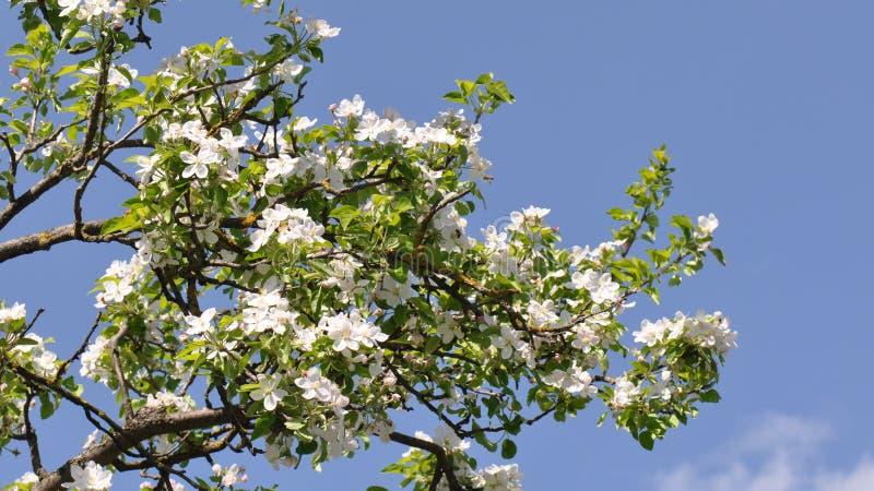 De bloemen van Apple royalty-vrije stock fotografie