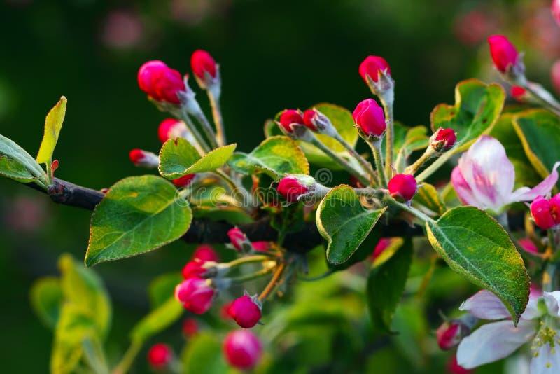 De bloemen van Apple royalty-vrije stock afbeeldingen