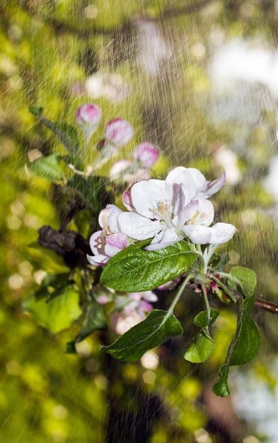 De bloemen van Apple stock afbeelding