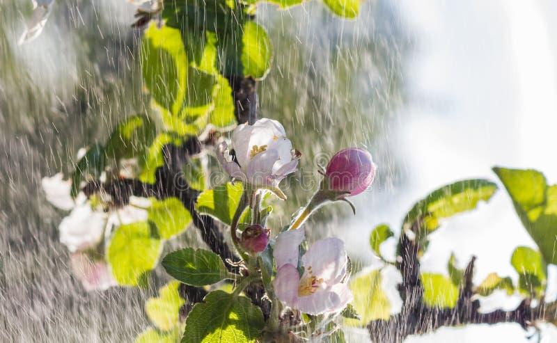 De bloemen van Apple stock fotografie