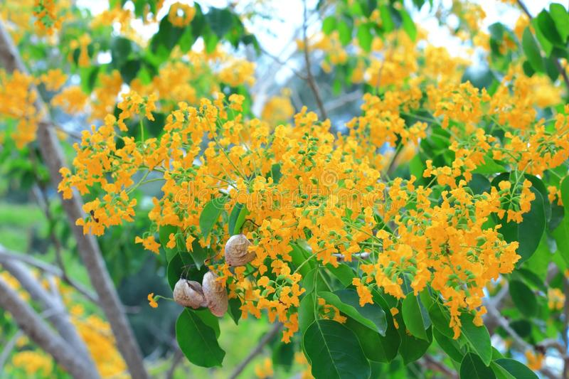 De bloemen van Birma padauk stock foto