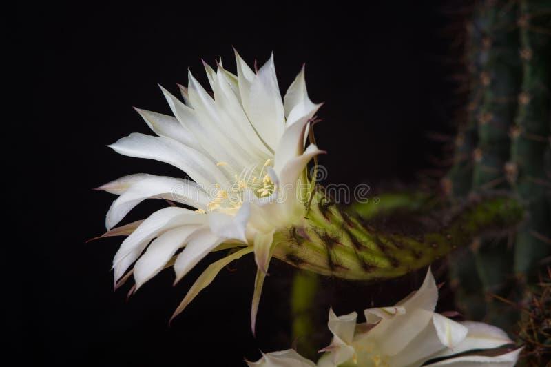 De bloemen van cactusechinopsis stock foto's