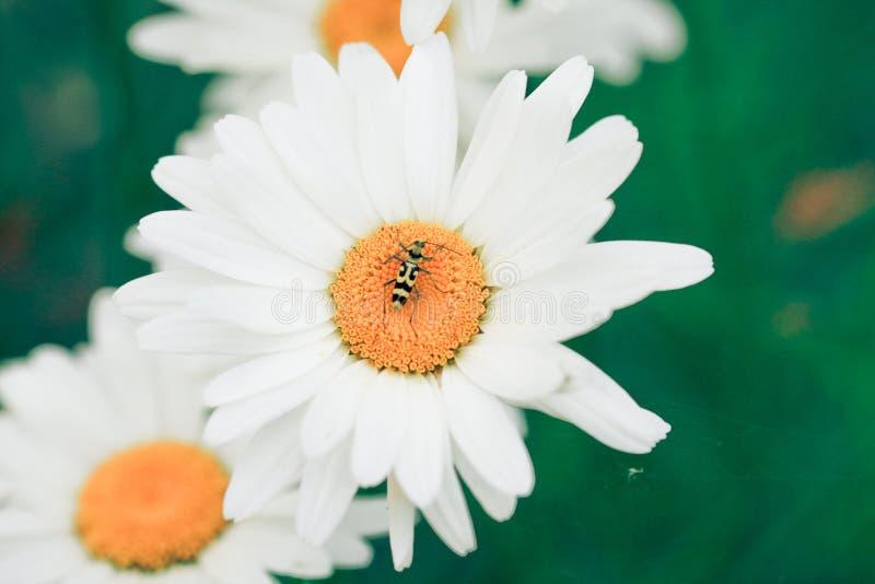 De bloemen van Camile royalty-vrije stock fotografie