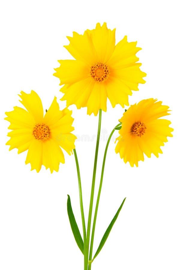 De bloemen van Coreopsis - Latijnse ferulifolia Coreopsis stock afbeeldingen