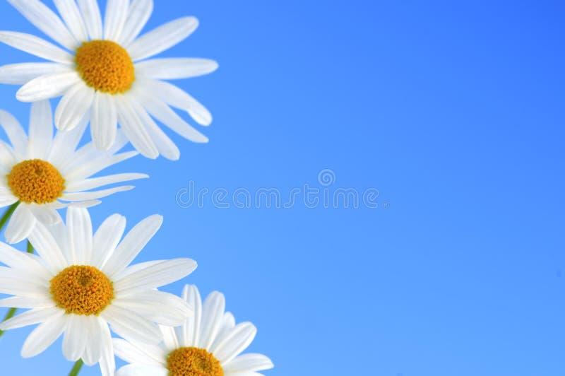 De bloemen van Daisy op blauwe achtergrond stock foto's