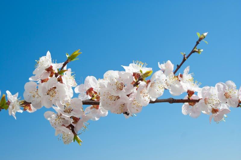 De bloemen van de abrikoos stock afbeeldingen