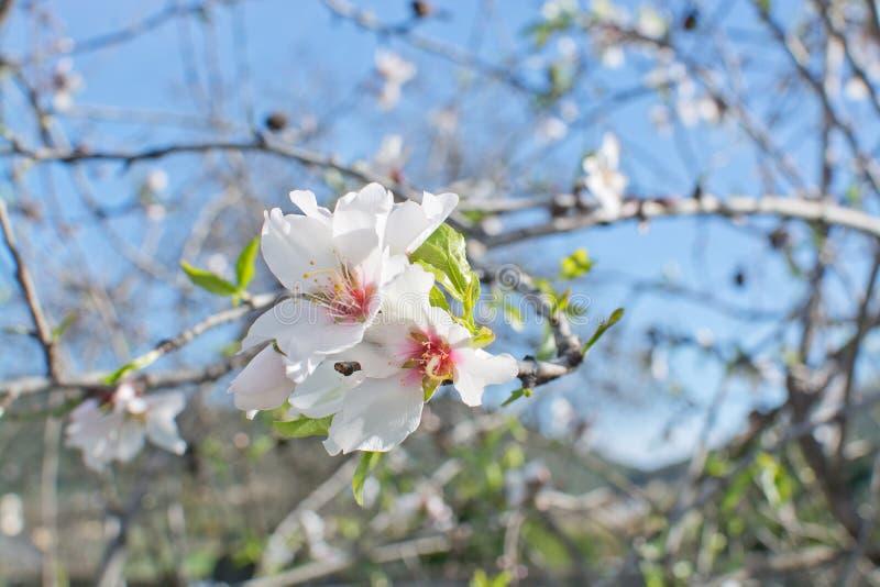 De bloemen van de amandelboom royalty-vrije stock foto