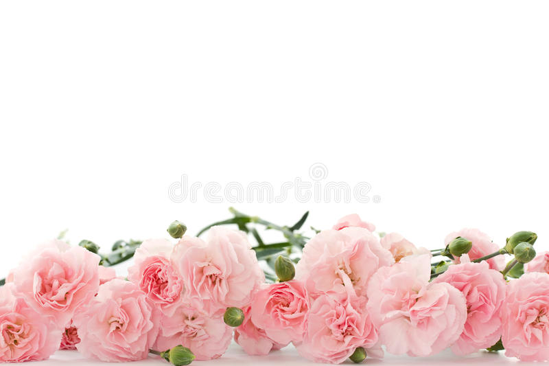 De bloemen van de anjer royalty-vrije stock afbeelding