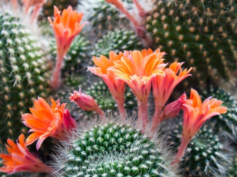 De bloemen van de cactus stock afbeeldingen