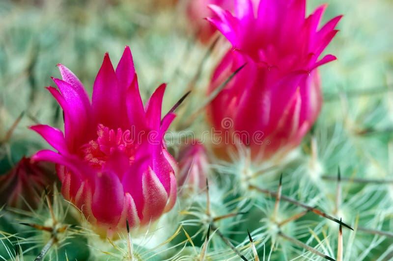 De bloemen van de cactus royalty-vrije stock foto's