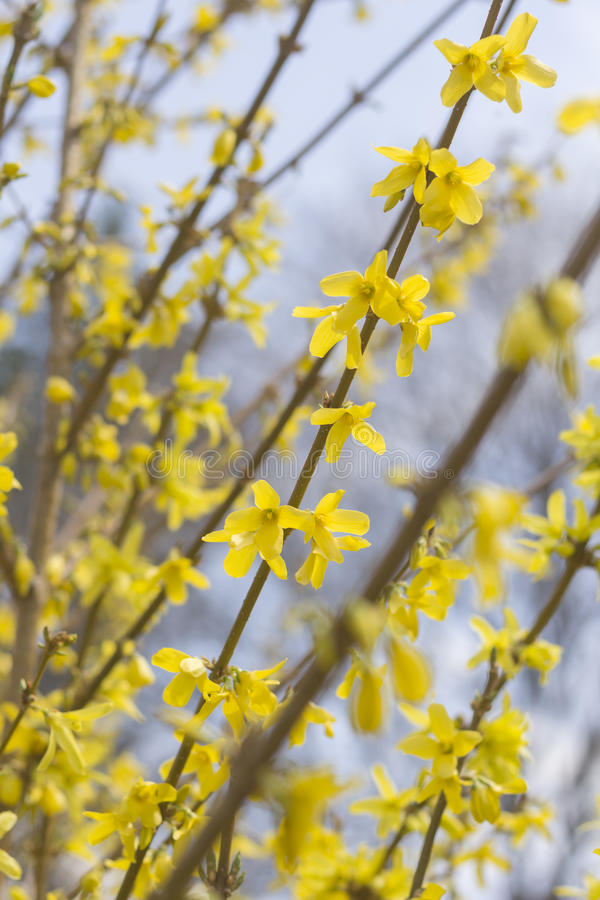 Download De Bloemen Van De Close-upforsythia Stock Afbeelding - Afbeelding bestaande uit goud, close: 54091711