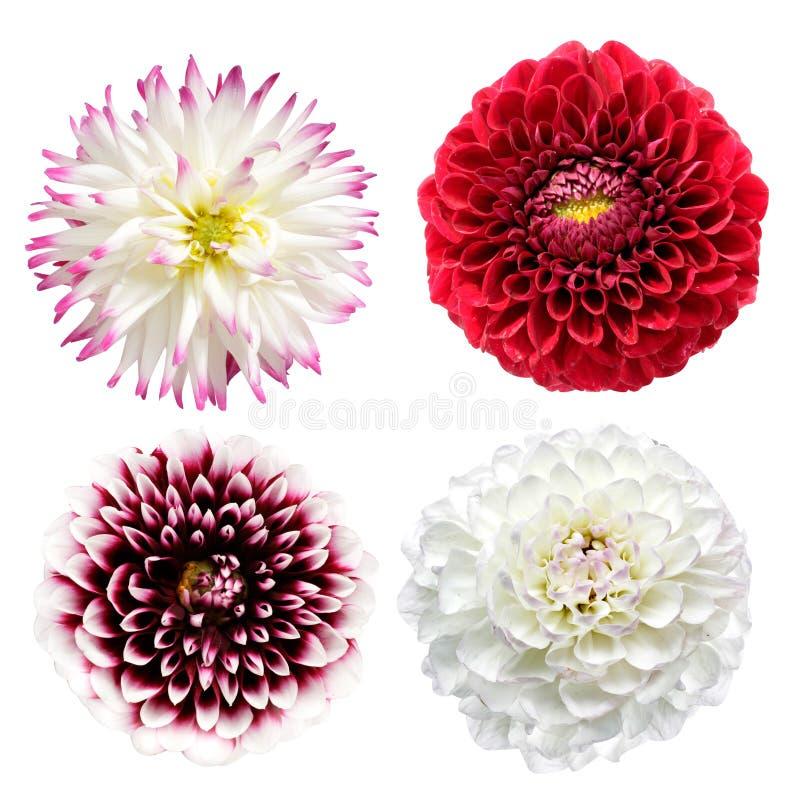 Download De bloemen van de dahlia stock foto. Afbeelding bestaande uit plantkunde - 10780996