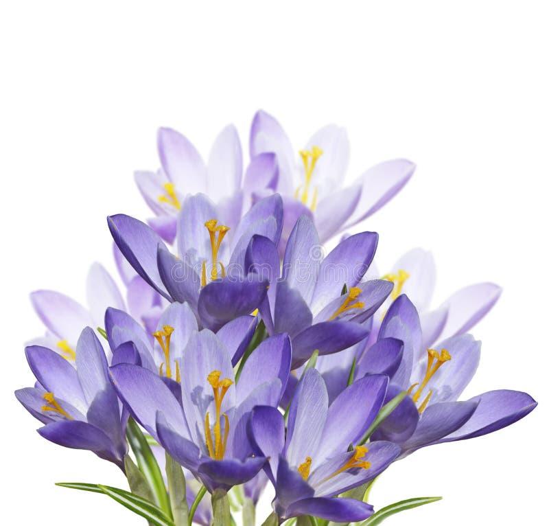 De Bloemen van de de lentekrokus stock afbeeldingen