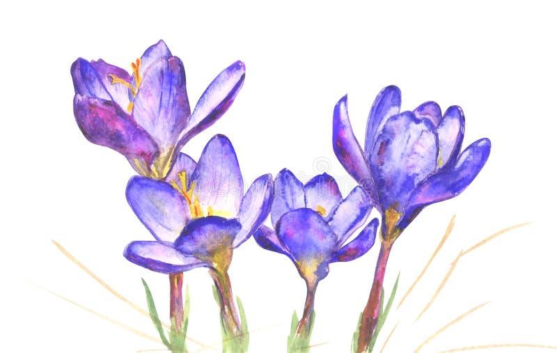 De Bloemen van de de lentekrokus op Witte Achtergrond stock foto's