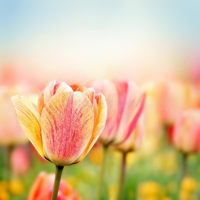 De bloemen van de de lentetulp stock foto's