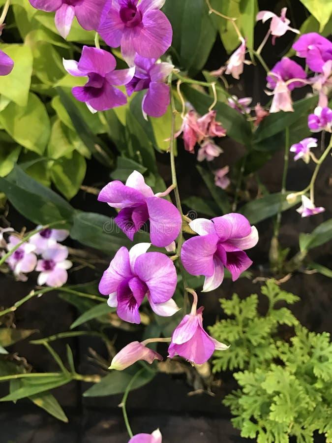 De Bloemen van de Dendrobiumorchidee royalty-vrije stock afbeelding