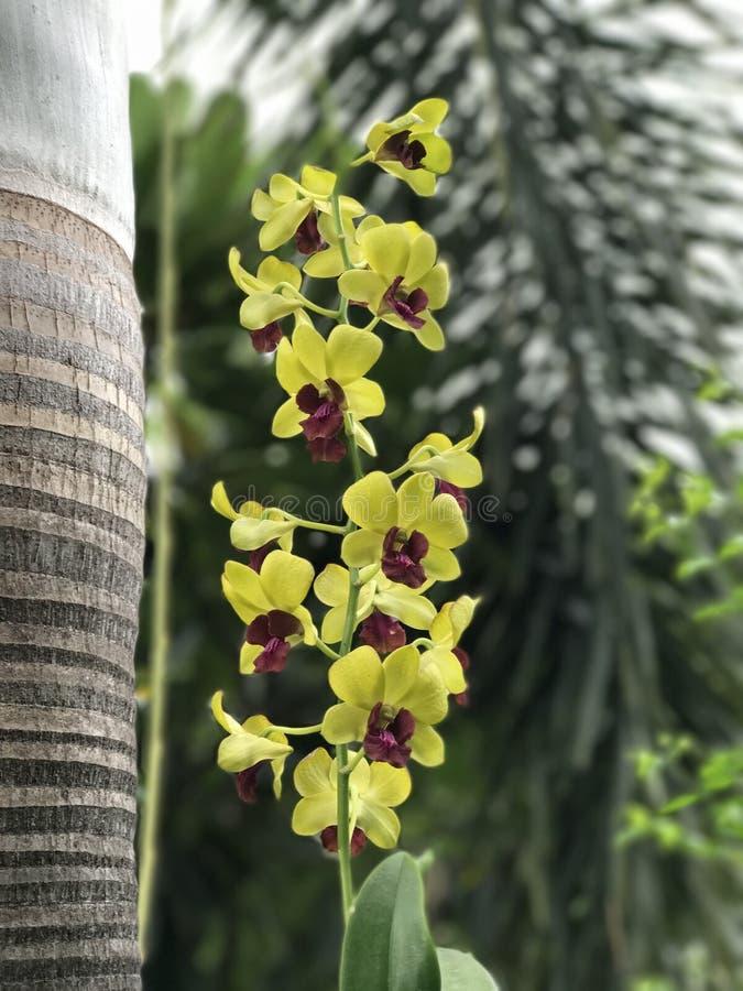 De Bloemen van de Dendrobiumorchidee stock foto