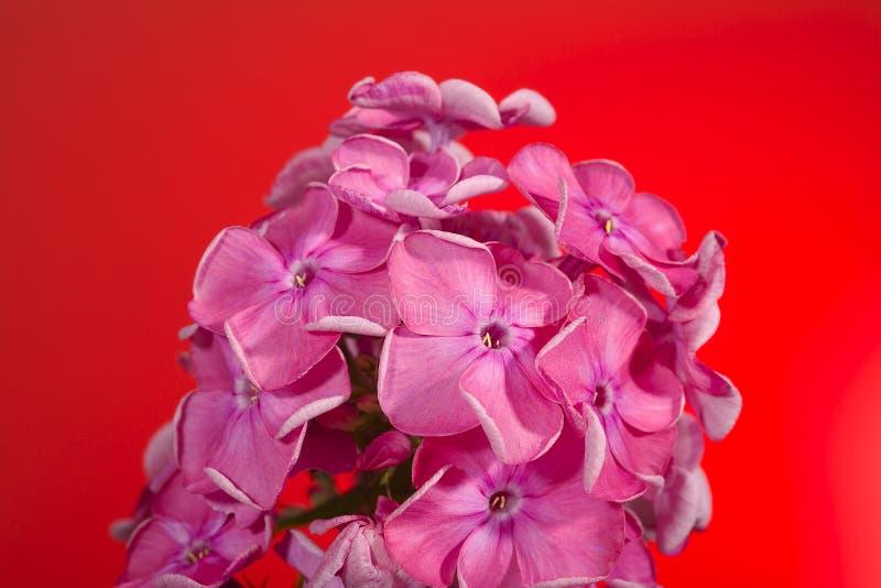 Download De bloemen van de flox stock foto. Afbeelding bestaande uit hoofd - 29508468