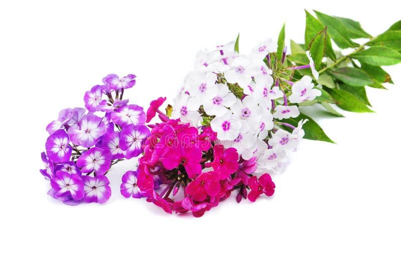 De bloemen van de flox op witte achtergrond stock foto
