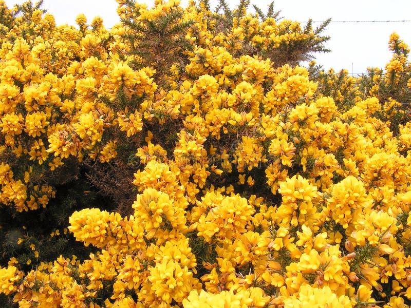 De Bloemen van de gaspeldoorn. royalty-vrije stock afbeelding