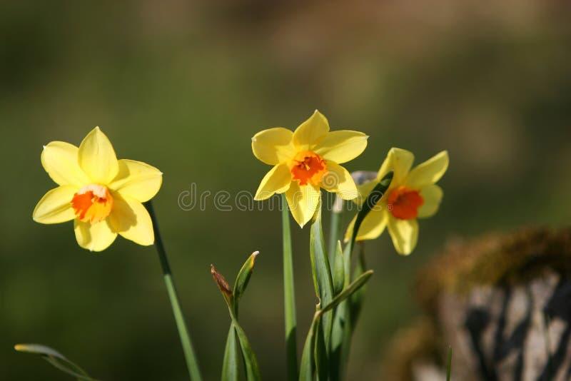 De bloemen van de gele narcis royalty-vrije stock fotografie