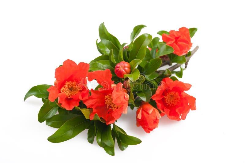 De bloemen van de granaatappel royalty-vrije stock afbeelding