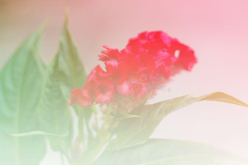 De bloemen van de hanekam stock foto