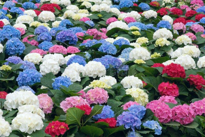 De bloemen van de hydrangea hortensia royalty-vrije stock foto's