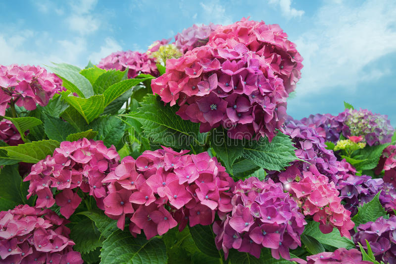 De bloemen van de hydrangea hortensia in bloei stock fotografie