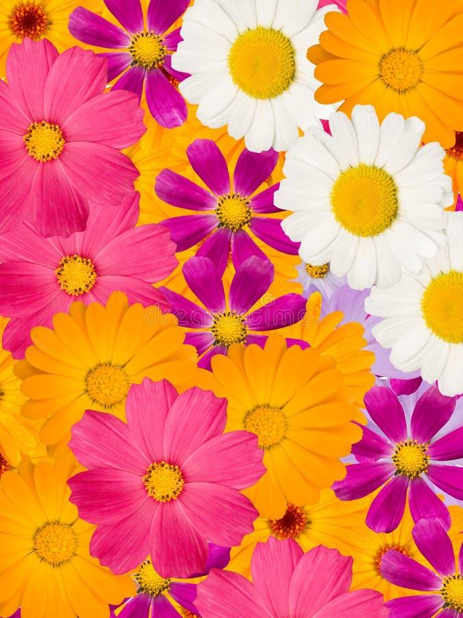 De bloemen van de kamille royalty-vrije stock foto