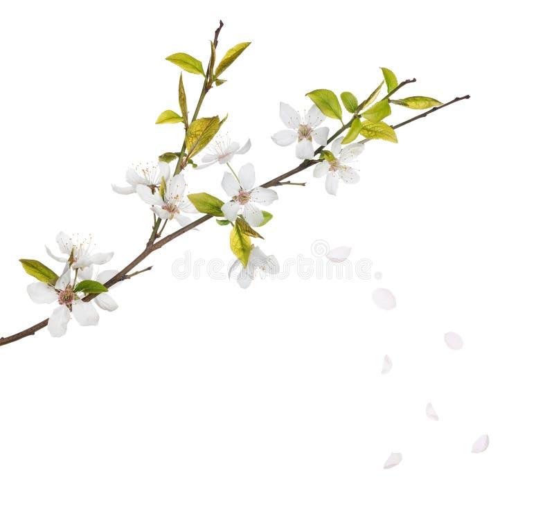 De bloemen van de kersenboom en dalende die bloemblaadjes op wit worden geïsoleerd royalty-vrije stock foto's