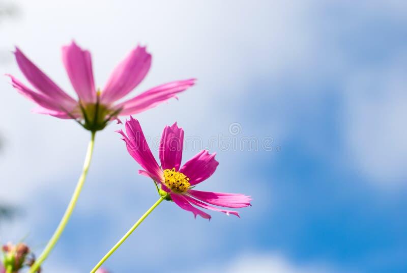 De bloemen van de kosmos stock afbeelding