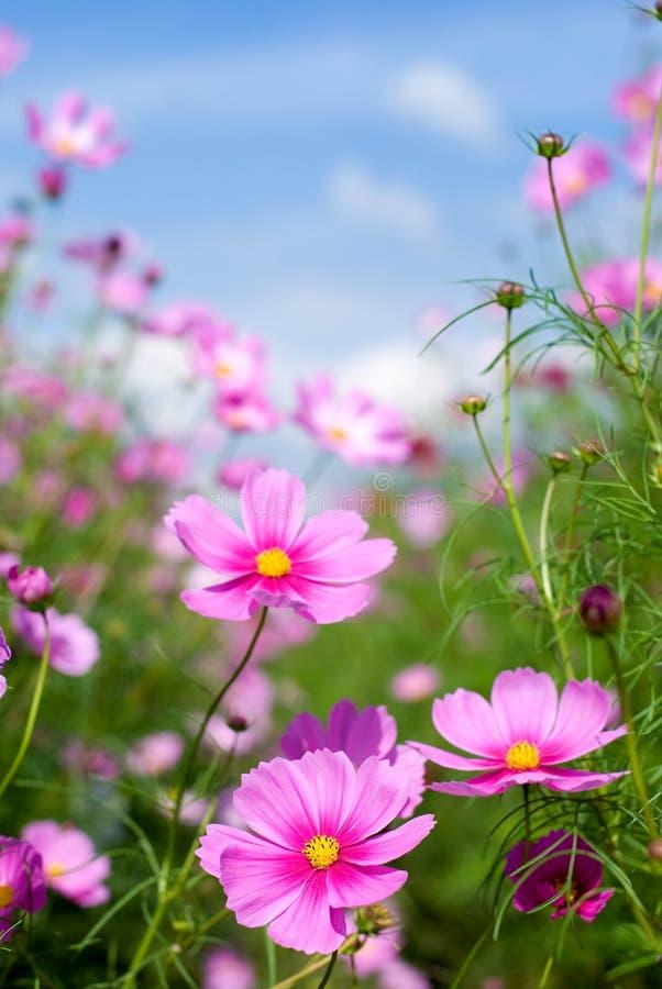De bloemen van de kosmos stock afbeeldingen