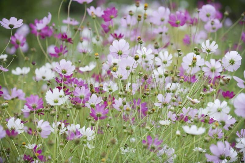 De bloemen van de kosmos royalty-vrije stock afbeelding