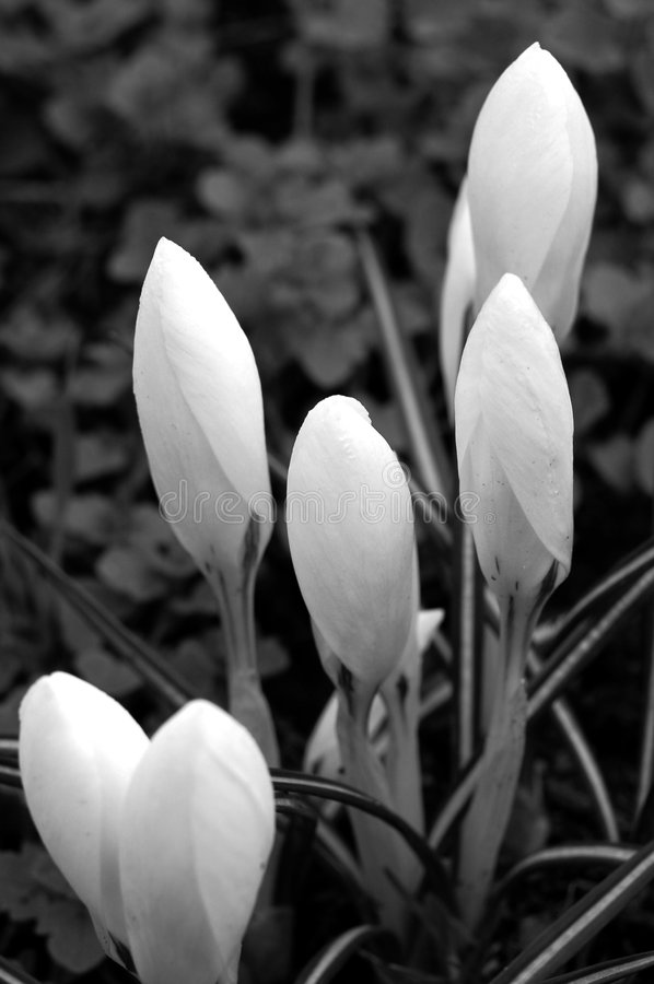 De bloemen van de krokus royalty-vrije stock afbeeldingen