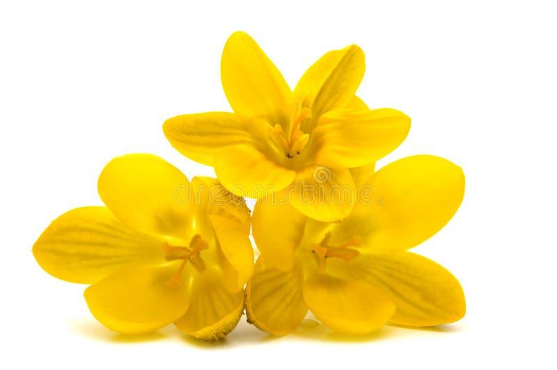 De bloemen van de krokus stock foto