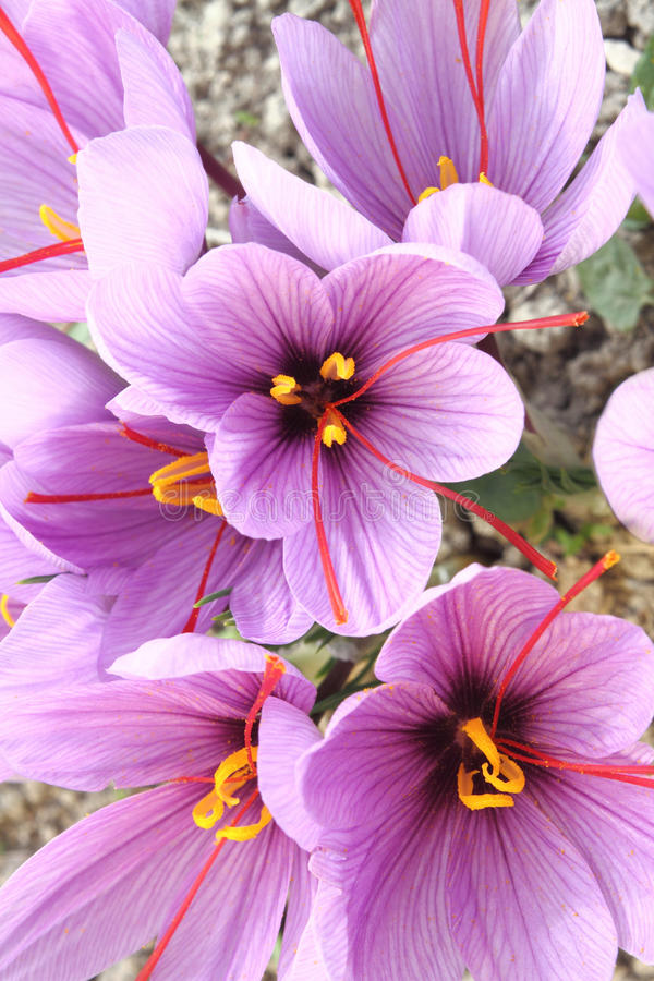 De bloemen van de Krokus van de saffraan royalty-vrije stock foto