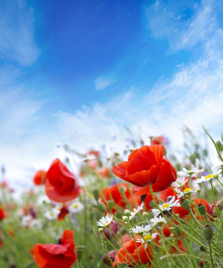 De bloemen van de landschapspapaver stock afbeelding